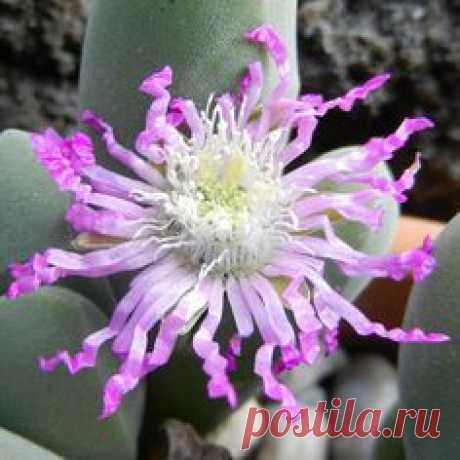Succulent (Gibbaeum shandii)