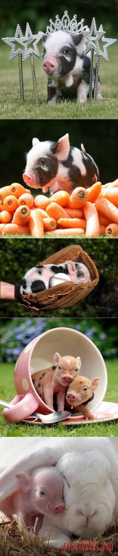 (+1) тема - Очаровательные свинки :) | Четвероногий юмор