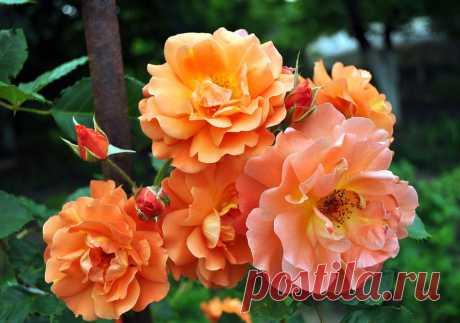 Всё о распространённых болезнях розы, их описание и меры борьбы