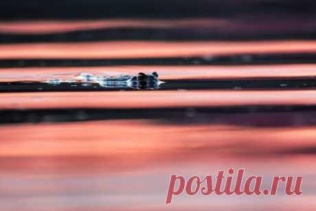 Почти крокодил! Снимал фотограф под псевдонимом Dar_Veter (nat-geo.ru/community/user/21482).