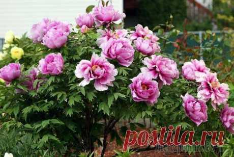 Посадка пионов весной: стоит ли вообще за это браться Большинство многолетних цветов легко переносят весеннюю посадку и даже предпочитают ее.С пионами же все сложнее. Но почему они в таком разнообразии представлены в магазинах весной, и как быть, если в...