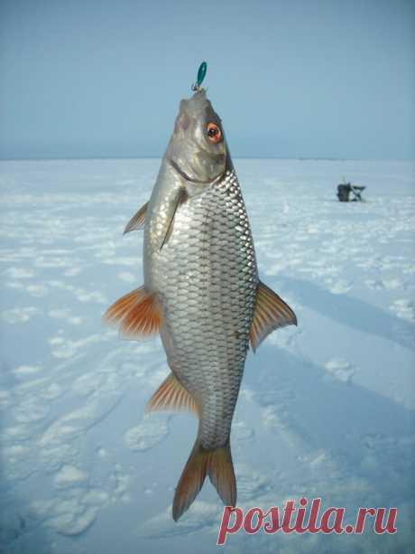 Техника ловли плотвы в январе на зимнюю поплавочную удочку | Catcher.fish | Яндекс Дзен