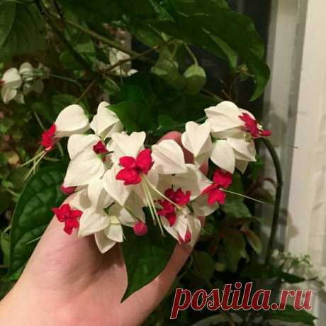 Яркие фонарики на подоконнике – цветок, мимо которого не смогла пройти, и теперь он украшает мой дом | Флора | Яндекс Дзен