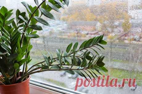 Замиокулькас – магические свойства долларового дерева, уход за растением | Улучшаем жизнь | Яндекс Дзен