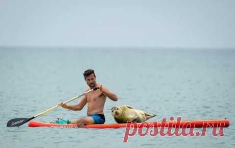 Талисман пляжа Престон (Preston Beach) в английском Уэймуте, тюлень-приживала, много лет мешает спортивно отдыхать сёрферам, но они, кажется, не против.  «Мы осторожно гребём к берегу, чтобы не потревожить Сэмми, там просим сойти и плывём назад, очень дружелюбное, общительное животное, стоит приехать в Дорсет, чтобы поплавать с Сэмми».