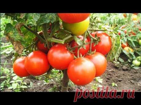 Уникальный способ полива и подкормки томатов. Сода, марганцовка, йод- всегда под рукой! - YouTube