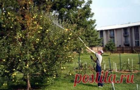 Проверенные временем решения проблемы гниющих на ветке яблок