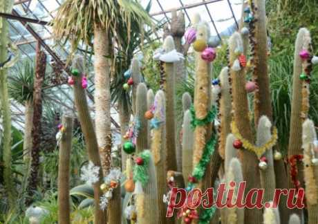 В Крыму новогодними ёлочками станут кактусы | Новости Севастополя