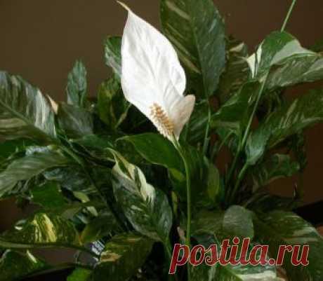 Спатифиллум Домино: описание и фото растения, уход в домашних условиях, а также в чем состоит разница между ним и сортом Джемини?