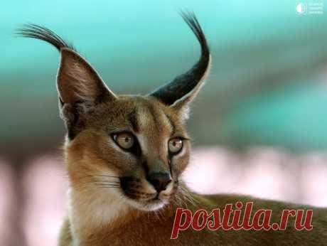 Каракал - опасная кошка