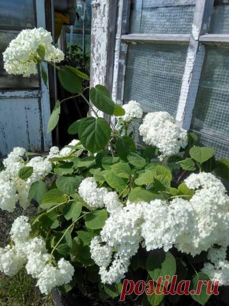 5 причин для посадки белой гортензии — Садоводка