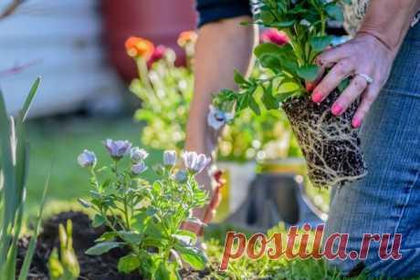 Недолговечные многолетники: 9 цветов, которые живут меньше, чем хотелось бы | Прочие многолетники (Огород.ru)