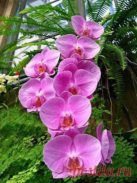 Некоторые особенности содержания и полива домашних орхидей., Личный опыт - комнатные растения и цветы