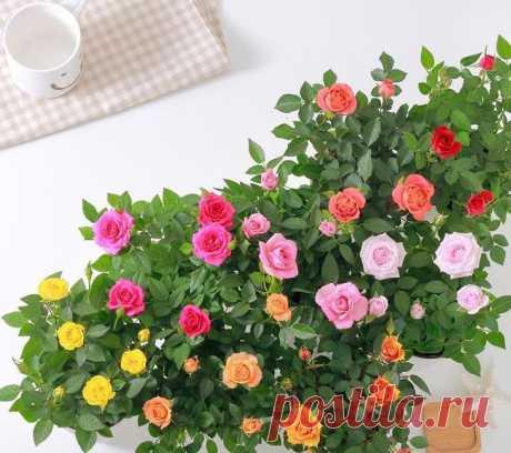 Роза горшечная: фото, выращивание и уход в домашних условиях Домашние розы, посаженные в горшках, тоже красивые, как и садовые. На сегодняшний день декоративные кусты являются прекрасной заменой растениям в открытом грунте. Но для горшечных роз нужно особое вни...