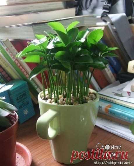 Зеленый островок или как вырастить грейпфрут (лимон) в чашке.