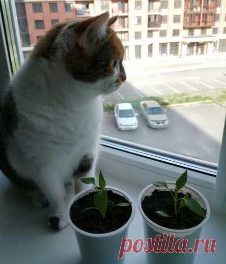 Как кошка Милана выращивает перчики на подоконнике, несмотря на то, что ей нельзя их кушать | О кошках и не только | Яндекс Дзен