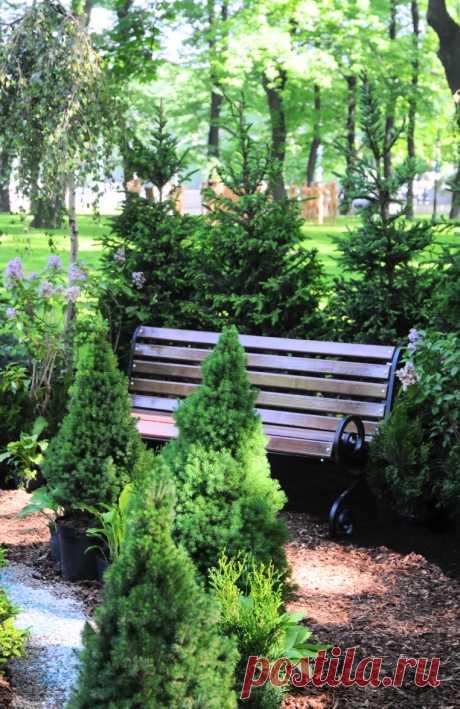 Особенности выращивания канадской ели на садовом участке   6 соток