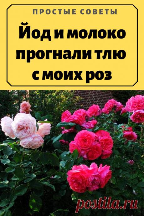 Йод и молоко прогнали тлю с моих роз – Простые советы