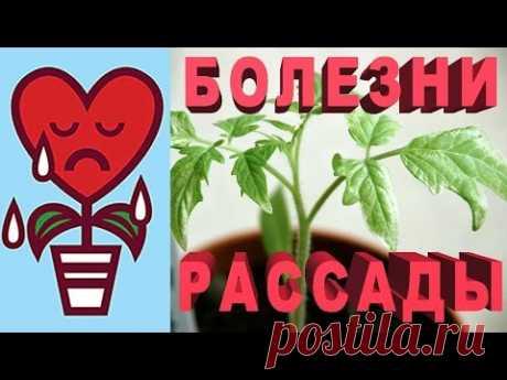 Como cuidar las plantas del pimiento y el tomate, como regar y por qué se ponen amarillo las hojas