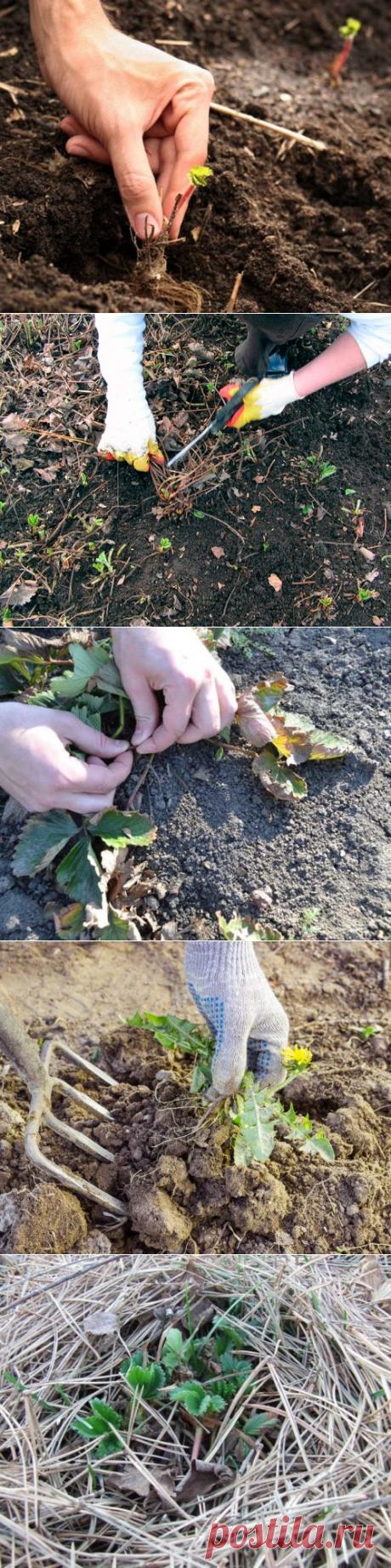 Урожай клубники 2020. Какие работы необходимо проводить осенью