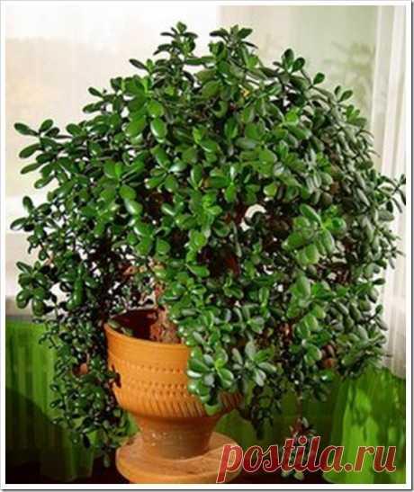 У вас дома тоже растет такое дерево? Так вот, знайте, что вы поливаете и выращиваете Горшечное растение «толстянка», известное в народе больше как денежное дерево, украшает подоконники многих из нас. Некоторые верят, что этот цветок приносит богатство и изобилие в семью, есть те, кто …