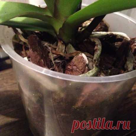 Загнивание корней у орхидеи: признаки, причины и лечение | УДАЧНАЯ ДАЧНИЦА | Яндекс Дзен