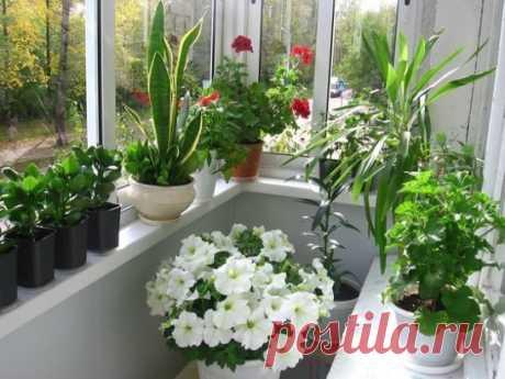 """5 НАТУРАЛЬНЫХ УДОБРЕНИЙ ДЛЯ ДОМАШНИХ ЦВЕТОВ 1. Натуральные удобрения. Картофельный отвар. Растения любят крахмал. Когда вы отвариваете картофель, раствор слейте и остудите, а затем можно им полить комнатные растения.  Крахмал в растениях выполняет запасную функцию, это своеобразная """"заначка энергии"""" растений на неблагоприятный период времени. Поэтому растения ведут себя так же как и люди - все для детей. Крахмал накапливается в клубнях, семенах, луковицах, плодах (незрелых), то есть в органах, о"""