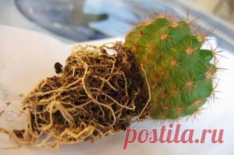 Как правильно пересаживать кактус в зависимости от его вида