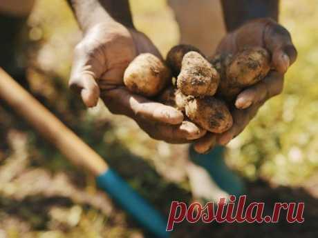 Почему картошка мелкая, или Чего не хватило картофелю? Выбор сортов, посадка, уход. Фото — Ботаничка.ru