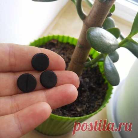 Активированный уголь - помощник для комнатных растений.   Klumba-plus.ru   Яндекс Дзен