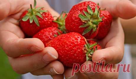 Эта ягода способна давать фантастические урожаи, но чтобы получить хорошую отдачу, ее надо удобрять. С весны и до конца лета, строго по расписанию и четко