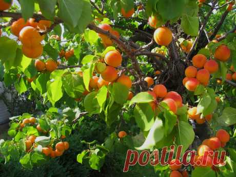 Как и из чего выращивать абрикос | Энциклопедия домовладельца