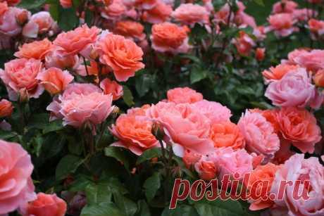 10 полезных советов для успешного выращивания роз в саду