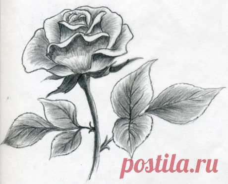 Как рисовать бутон розы. Урок рисования: как правильно рисовать розы