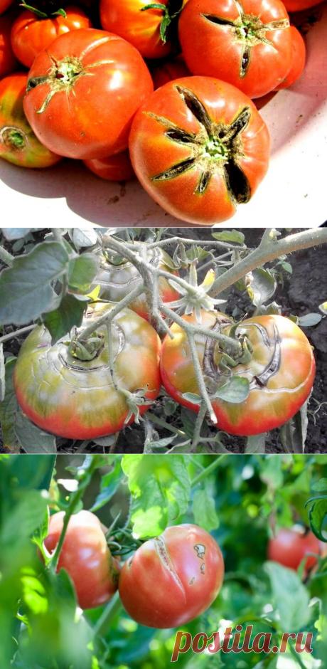 Почему во время созревания трескаются помидоры, и как исправить ситуацию