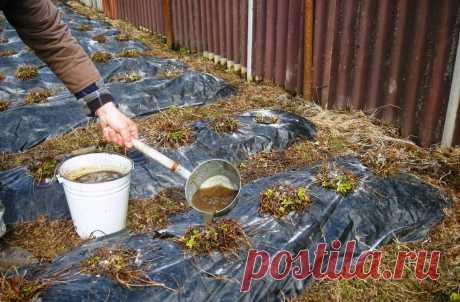Чем подкормить клубнику осенью Чем подкормить клубнику осенью. Почему так важно осеннее удобрение для клубники. Какие удобрения использовать.