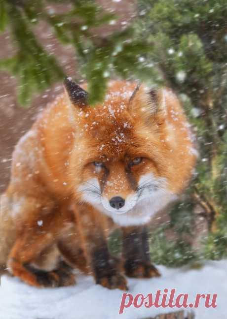 Великолепный лис в объективе Олега Богданова: nat-geo.ru/community/user/163720