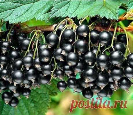Урожайность черной смородины | ВО САДУ И В ОГОРОДЕ