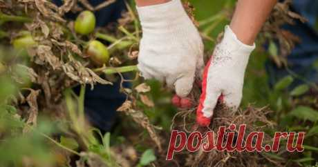 """Как навсегда """"прогнать"""" фитофтору с участка – успешный опыт нашей читательницы При упоминании фитофторы многие садоводы и огородники печально смотрят в сторону своих посадок, после чего следует тяжелый вздох. Не отчаивайтесь! Давайте дадим достойный отпор коварному заболеванию, что уже """"присматривается"""" к вашим картофелю и помидорам."""