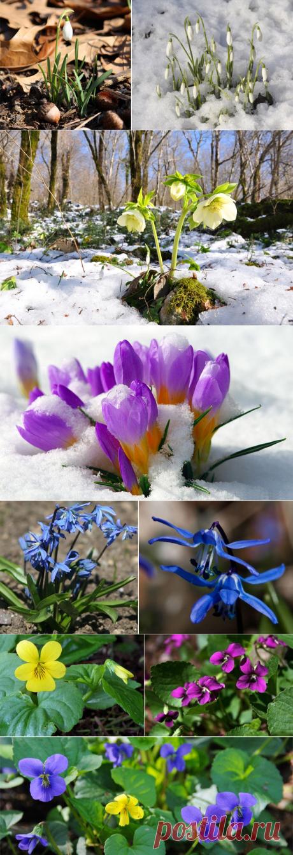 11 самых первых весенних цветов в саду.