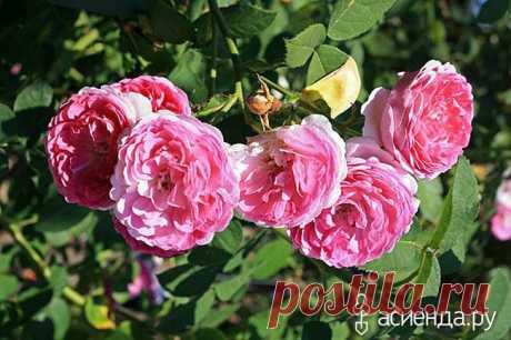 Шиповники? Нет, парковые розы! Евгений Писарев. часть 4.: Группа Цветы и флористика