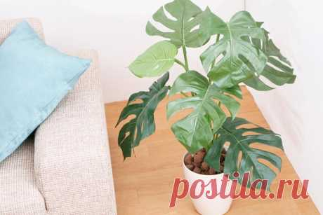 Монстера: уход за цветком в домашних условиях, родина растения