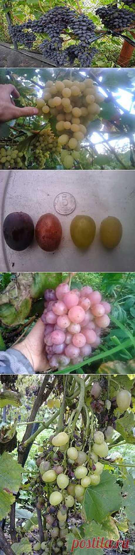 Блог про виноград Киушкина Николая