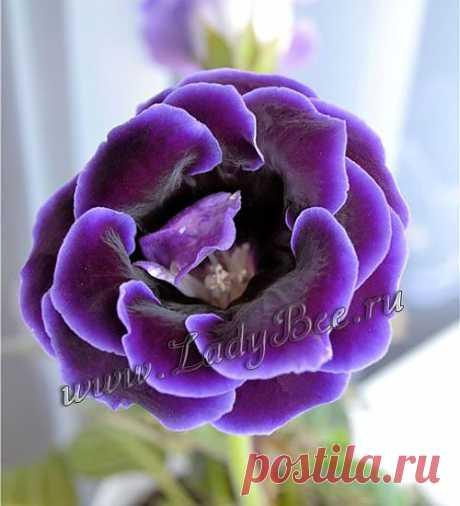 Глоксиния или Синнингия Прекрасная (Sinningia speciosa) - комнатные растения и цветы для сада: выращивание, местоположение, температура, полив, пересаживание, размножение, болезни и вредители