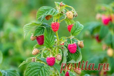 Обновление малины в августе: основные правила обрезки Русский фермер