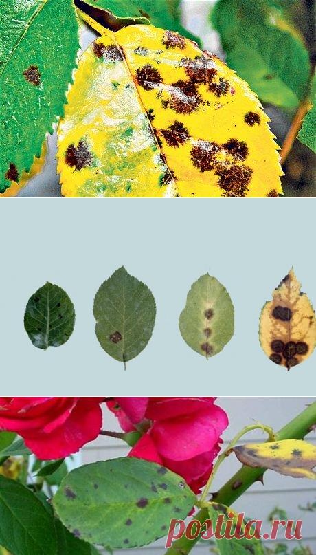 Черные пятна на розах - опасно ли? Чем лечить листочки - 4 проверенных средства | Дача. Сад. Огород | Яндекс Дзен