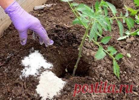 Первая подкормка томатов после высадки грунт  В конце мая — начале июня, то есть через 2-3 недели после высадки рассады томатов в грунт можно провести первую подкормку томатов. Рассада уже укоренилась, пошла в рост — самое время помочь растениям набрать силу и превратиться в полноценный куст. На этой стадии можно использовать азотные удобрения (в небольшом количестве) в сочетании с калийными и фосфорными. Показать полностью…