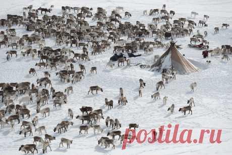 «Сосчитать оленей» Северные красавцы ЯНАО на фото Светланы Горбатых: nat-geo.ru/community/user/29089