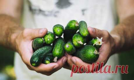 Grades of puchkovy cucumbers: the review of hybrids from Aelita. Photo
