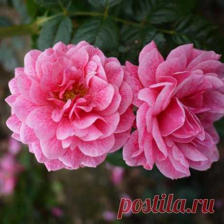Роза Камелот: описание с фото, внешний вид, период цветения Все цветоводы могут в один голос подтвердить, что садовая роза – королева всех цветов. Вьющиеся розы требуют особого внимания, только в таком случае они будут радовать всех вокруг. Но несмотря на это,...
